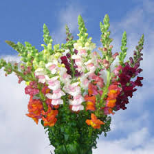 snapdragon flowers order your choice of color snapdragon flowers global