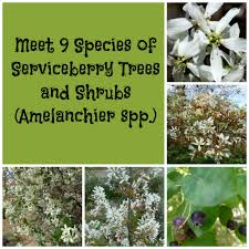 White Flowering Shrub - landscape trees and shrubs with purple leaves