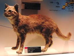 iriomote cat wikipedia