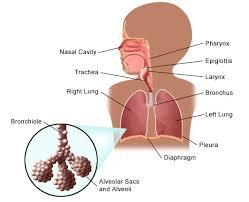 Human Anatomy Respiratory System Anatomy Of The Respiratory System In Children