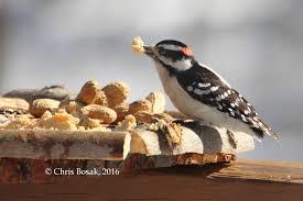 march 2016 birds of new england com