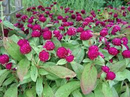 Flowers Information - 44 best annual flowering plants images on pinterest flower