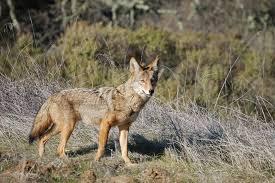 Coyote In My Backyard In Your Garden Uconnladybug U0027s Blog