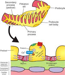 glomerular basement membrane rental house and basement ideas