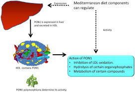 nutrients free full text pon1 and mediterranean diet html