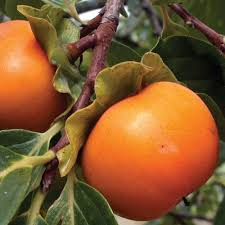 Patio Fruit Trees Uk by Exotic Fruit Trees Thompson U0026 Morgan