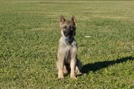 belgian sheepdog michigan german shepherd puppy susan zauberberg trained german shepherds