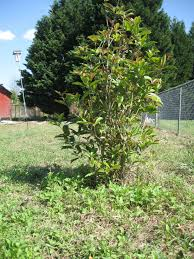privacy fence shrubs can ensure redundancy in you private backyard