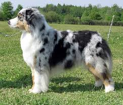 australian shepherd quebec australian shepherd solis sea goddess at risingstar id 12739