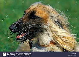 afghan hound afghan hound portrait of with muzzle stock photo royalty