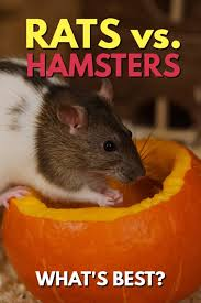 Best Bedding For Rats Rats Vs Hamsters What U0027s The Best Pet Rodent Pbs Pet Travel