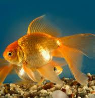 freshwater aquarium fish tropical freshwater fish