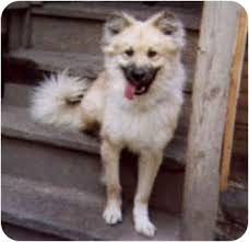 american eskimo dog rescue illinois teddy bear adopted adopted dog chicago il chow chow