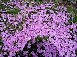 phlox flower phlox flowers pictures meanings purple white phlox flowers