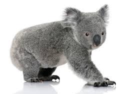 koala u2014 kidcyber