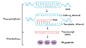 stages of transcription article khan academy