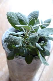 sage seeds herb garden seed salvia officinalis great for indoor