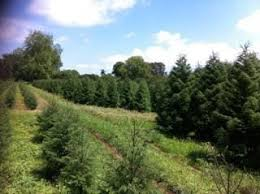 Natural Christmas Tree For Sale - real christmas trees for sale junk mail