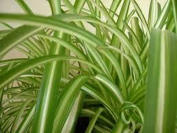 plante de chambre plantes dépolluantes ce n est pas miraculeux mais bien agréable