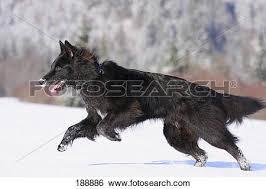 belgian shepherd black stock images of belgian shepherd dog groenendael black