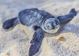 Hawaii Wildlife Tours images Where to see turtles on the big island of hawaii recommendations jpg