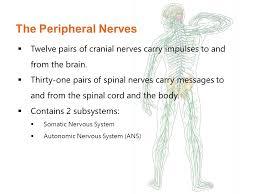 nervous u0026 sensory systems ppt video online download