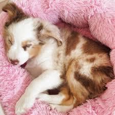 mini australian shepherd 6 months best 25 aussie dogs ideas on pinterest mini aussie mini aussie