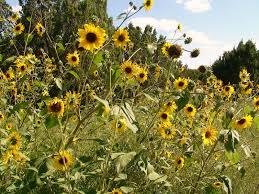 black oil sunflower black