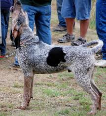 bluetick coonhound forums glass eye cull or not page 2 biggamehoundsmen com