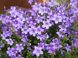purple flowers purple flowers for your garden saga