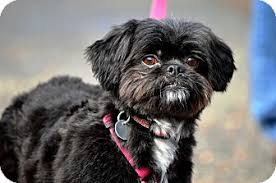 affenpinscher white lady spencer spence adopted dog greensboro nc shih tzu