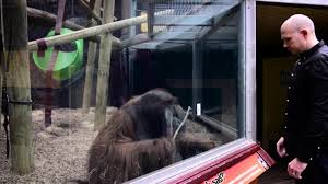 curious orangutan attempts to copy magician u0027s amazing card trick