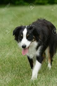 australian shepherd black black tricolor australian shepherd aussie dog walking stock