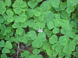 native plant nurseries oregon oregon wood sorrel oxalis oregana plants and gardens