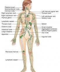 Google Body Anatomy Lymph Nodes Of The Body Diagram Google Search Anatomical