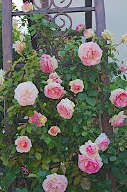 128 best climbing roses images on pinterest climbing roses