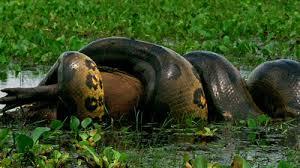 vidio film ular anaconda dunia binatang anaconda ular terbesar di dunia dan cara berkembang