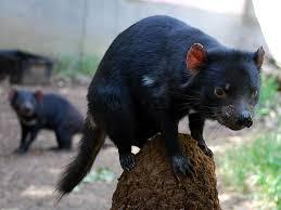 tasmanian devil wallpapers animals town