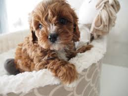 cockapoo vs bichon frise peach u0027s red female puppies pinterest dog pup and animal