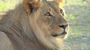 free stock footage wildlife young male lion head shot africa