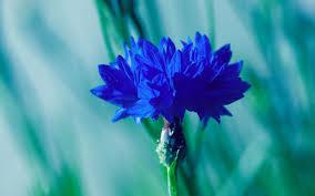 Blue Flower Backgrounds - bright flower 4867 glasslight gardens pinterest blue flower
