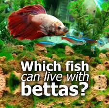 Betta Fish Vase With Bamboo What Fish Can Live With Bettas Online Betta Fish Guides
