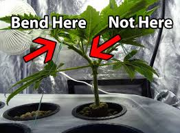 Tree Care Tips To Make by Low Stress Training Lst Tutorial How To Increase Yields For