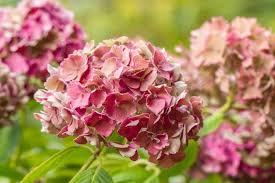pink hydrangea hydrangea preziosa