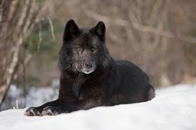 belgian shepherd wolf mix pet selection how can i find a dog that looks like a wolf