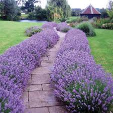 Pictures Of Gardens And Flowers Best 25 Lavender Garden Ideas On Pinterest Lavender Care Easy