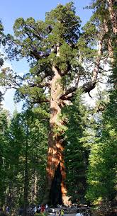 what can native australian plants teach us about business sequoiadendron giganteum wikipedia