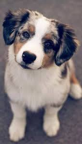 australian shepherd 15 weeks 1045 best dogs images on pinterest dogs animals and dog