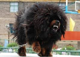 lion dogs best 25 tibetan mastiff attack ideas on tibetan