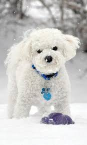 bichon frise 2015 calendar bichon frise wallpapers android apps on google play
